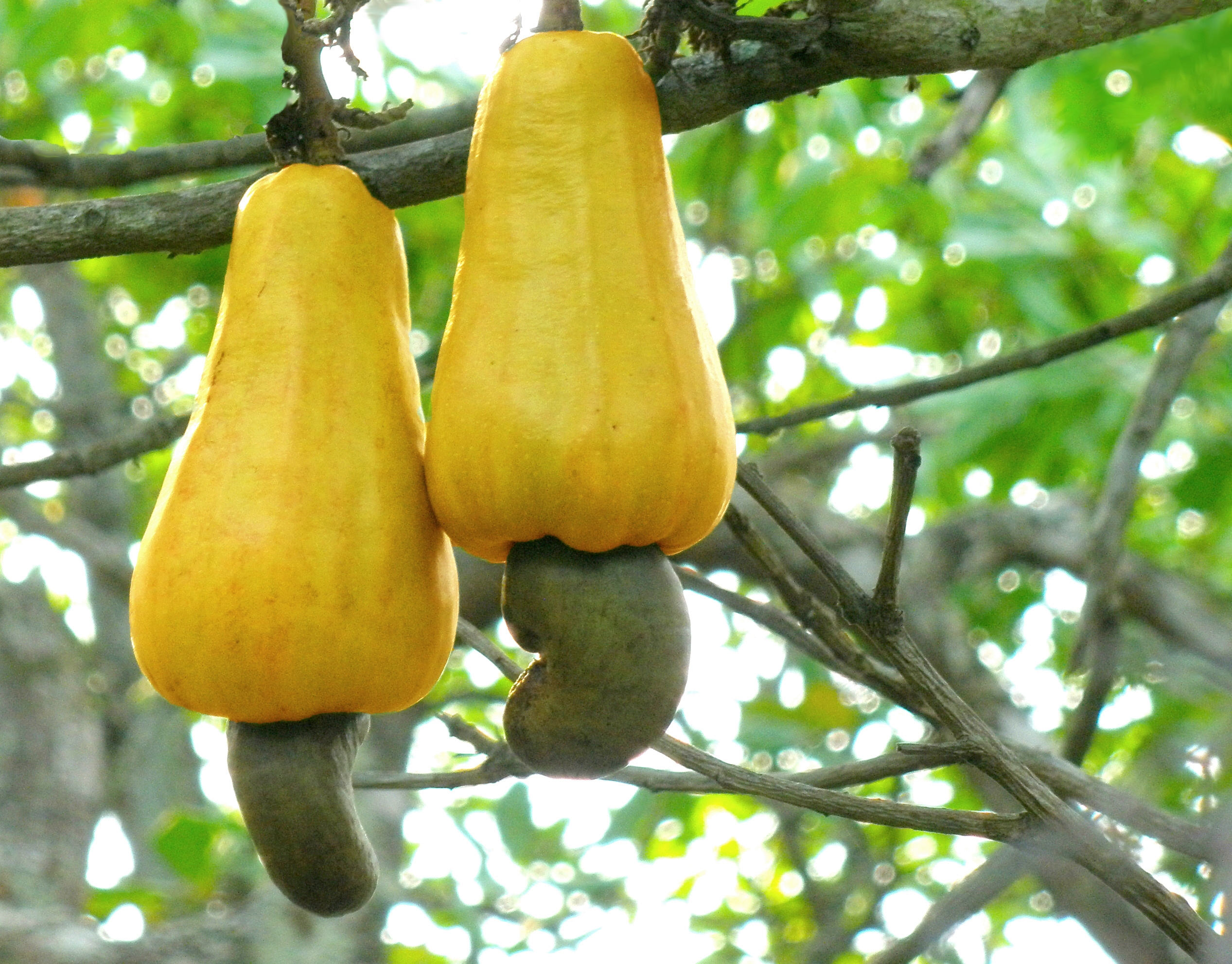 Cashew_apples